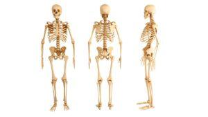 Hueso mas largo y más corto del cuerpo humano - ISAF