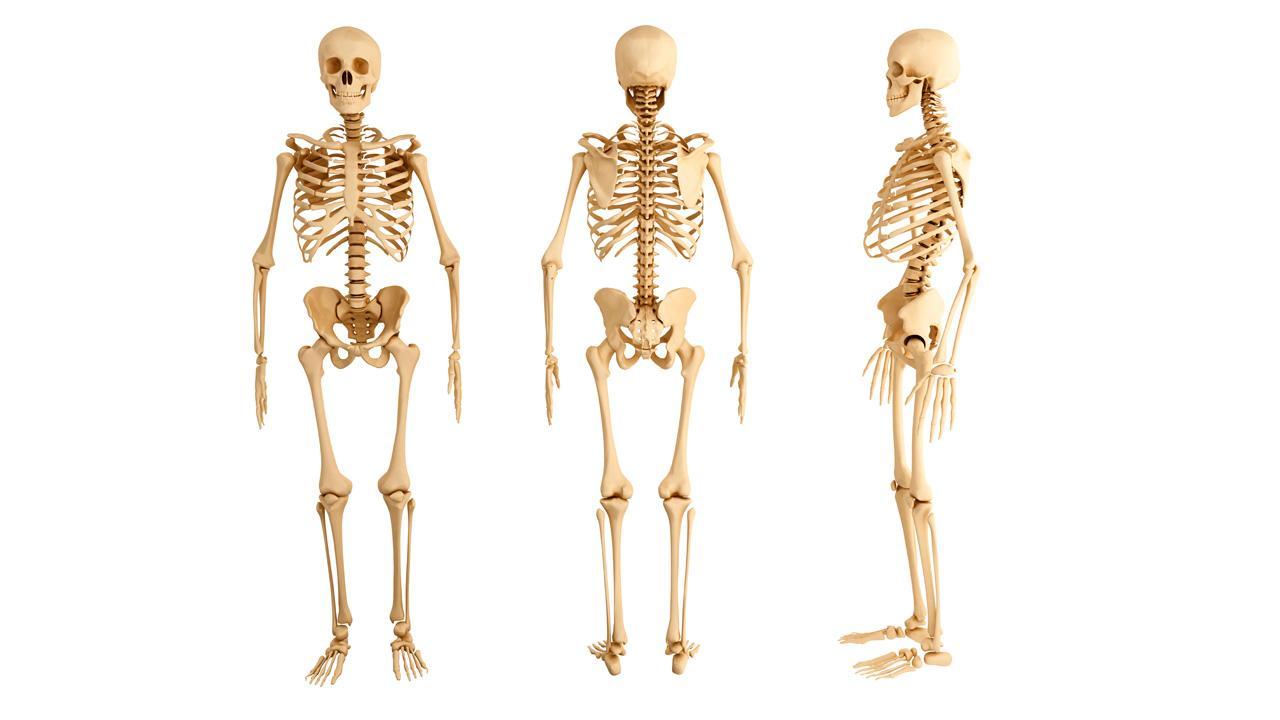 El Cuerpo Humano: ¿CUÁL ES EL HUESO MÁS LARGO DEL CUERPO HUMANO? ¿Y EL