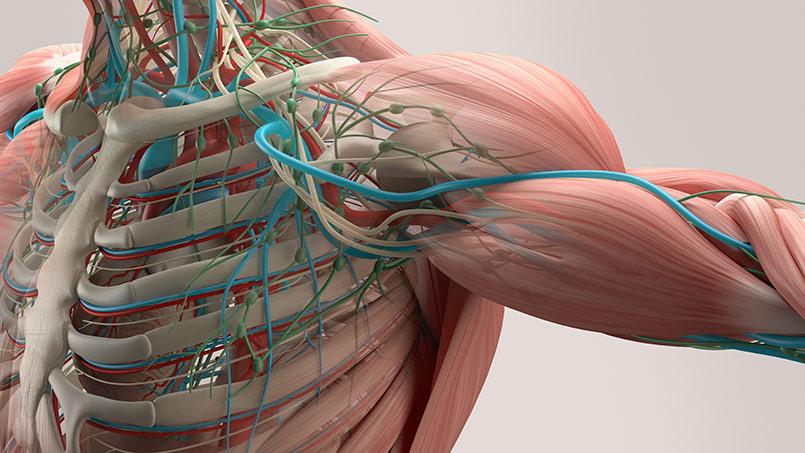 Características y funciones específicas del músculo esquelético y ...